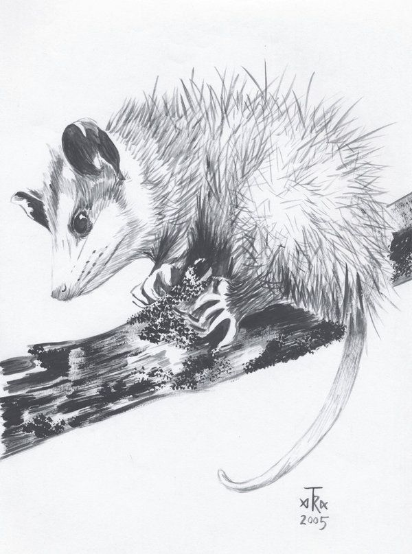 Virginia Opossum By Arabidopsis Art Opossum Animal Drawings