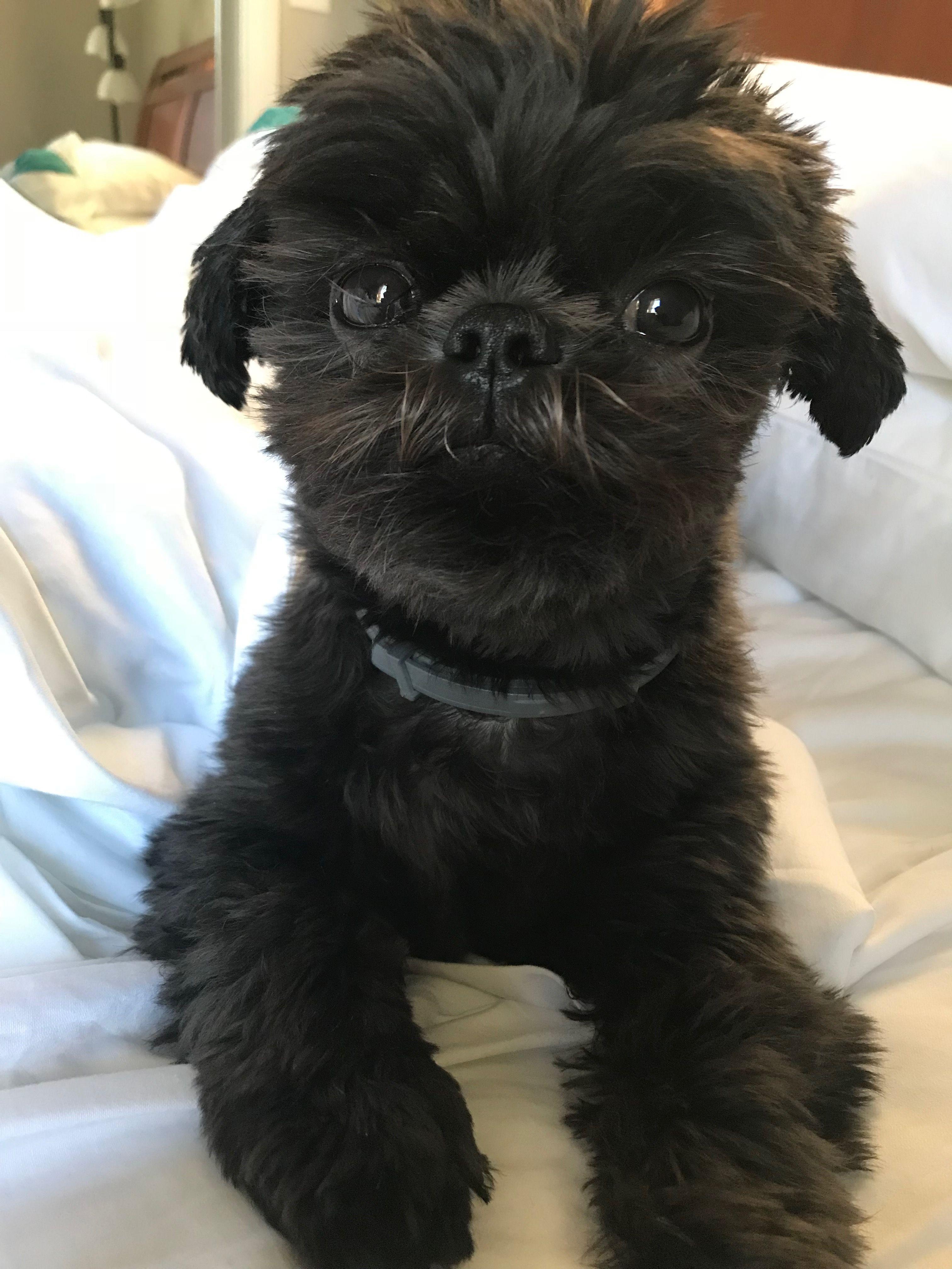 Pin By Sarah Borchardt On Happy Shih Tzu Shih Tzu Dog Dog Friends