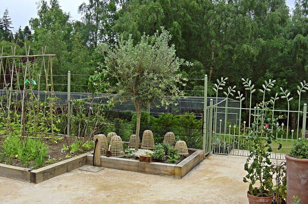 Planting Olive Trees In The Yard in 2020 Olive tree