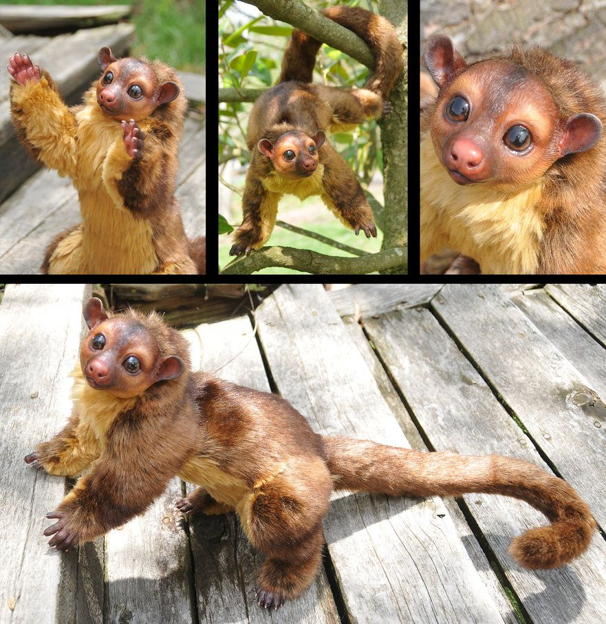 Kinkajou by mooki003 on DeviantArt