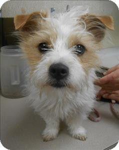 Salisbury, MD - Terrier (Unknown Type, Medium) Mix  Meet Trixie a