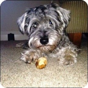 Shreveport La Standard Schnauzer Meet Arthur A Dog For Adoption