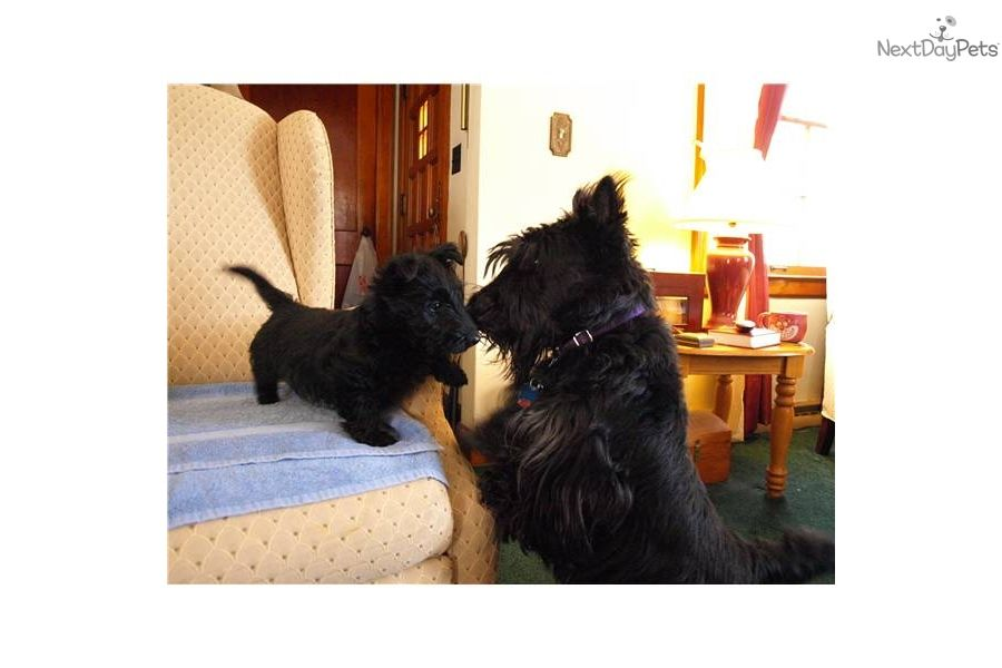 Scottish Terrier For Sale For 450 Near Location Ann Arbor