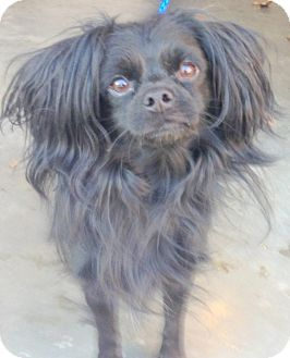 Adopted Bloomfield Ct Tibetan Spaniel Mix Meet Chives A Dog For Adoption Success Keep On Pinning These Ho Tibetan Spaniel Pet Adoption Dog Adoption
