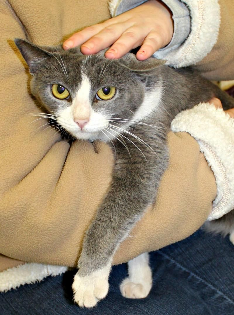 Buffy is an adoptable American Shorthair searching for a