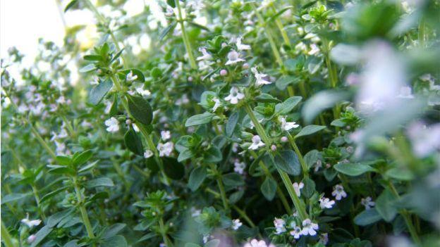 Come sfruttare il timo in cucina e non solo | garden ...