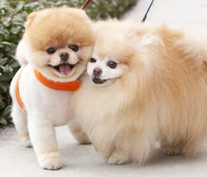 Interviews Boo The World S Cutest Pom Boo The Dog Cute