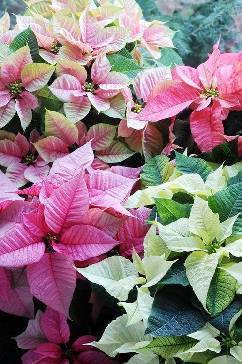 Poinsettia in December Birth Flower of the Month
