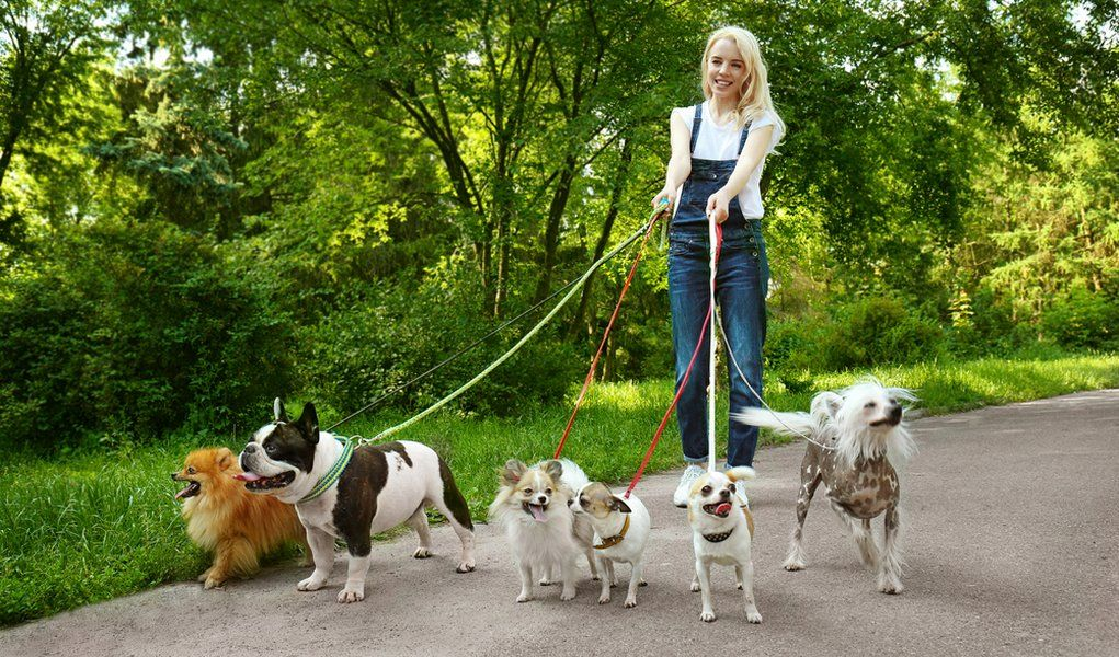 7 Tips On Becoming A Dog Walker Dog Walker Dog Walking Services Indoor Dog Park