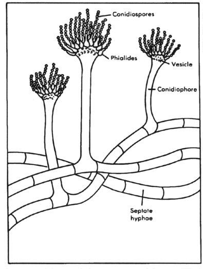 Aspergillus Mold Illustration Flower Like Shape