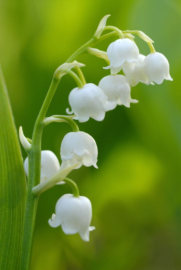 Convallaria Majalis Kielo Lily Of The Valley Flowers Lily Of The Valley Trees To Plant