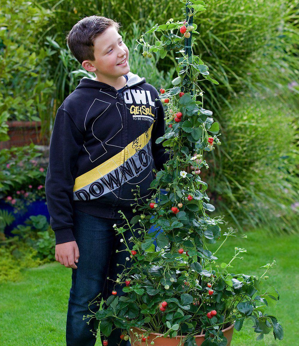 Klettererdbeere Hummi 1a Qualitat Kaufen Baldur Garten Erdbeeren Erdbeerpflanzen Pflanzen