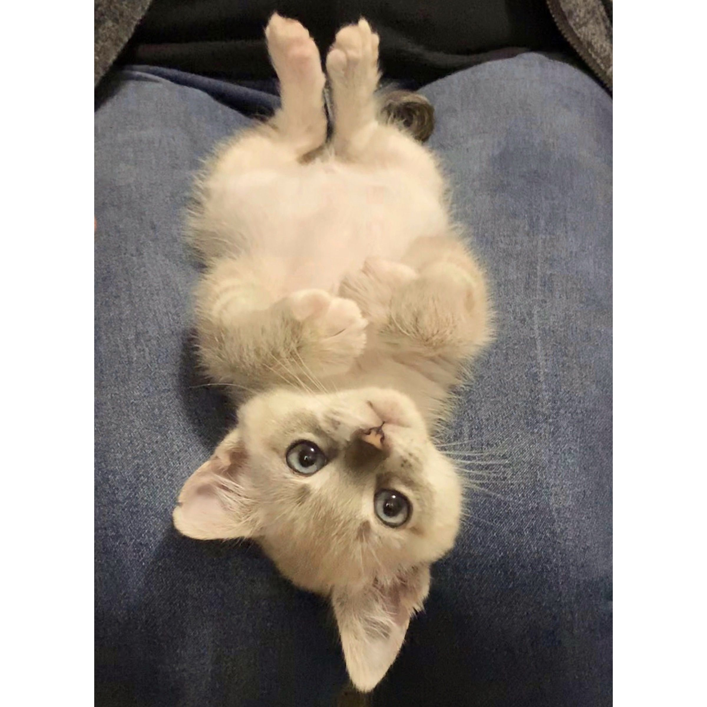White Seal Cream Lilac Tabby Point Siamese Kitten Cat Laying Upside Down Blue Eyes Pretty Cats Fluffy Kittens Siamese Cats Blue Point