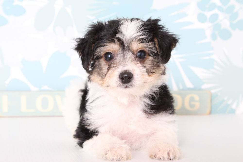 Puppies For Sale In Florida And Nationwide Puppies For Sale