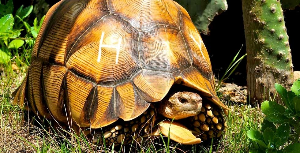 The Ploughshare Tortoise Astrochelys Yniphora Is Critically Endangered This Handsome Tortoise Lives In Northwestern Mada Endangered Turtles Tortoise Animals Საკონდიტრო მადარტი ქმნის, მაღალი ხარისხის იგრედიენტებით დამზადებულ ქართულ საკონდიტრო ნაწარმს: pinterest