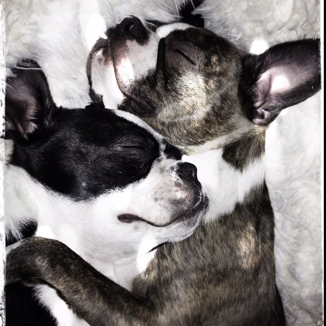 My Boston Terrier Piper, and her best friend Coco