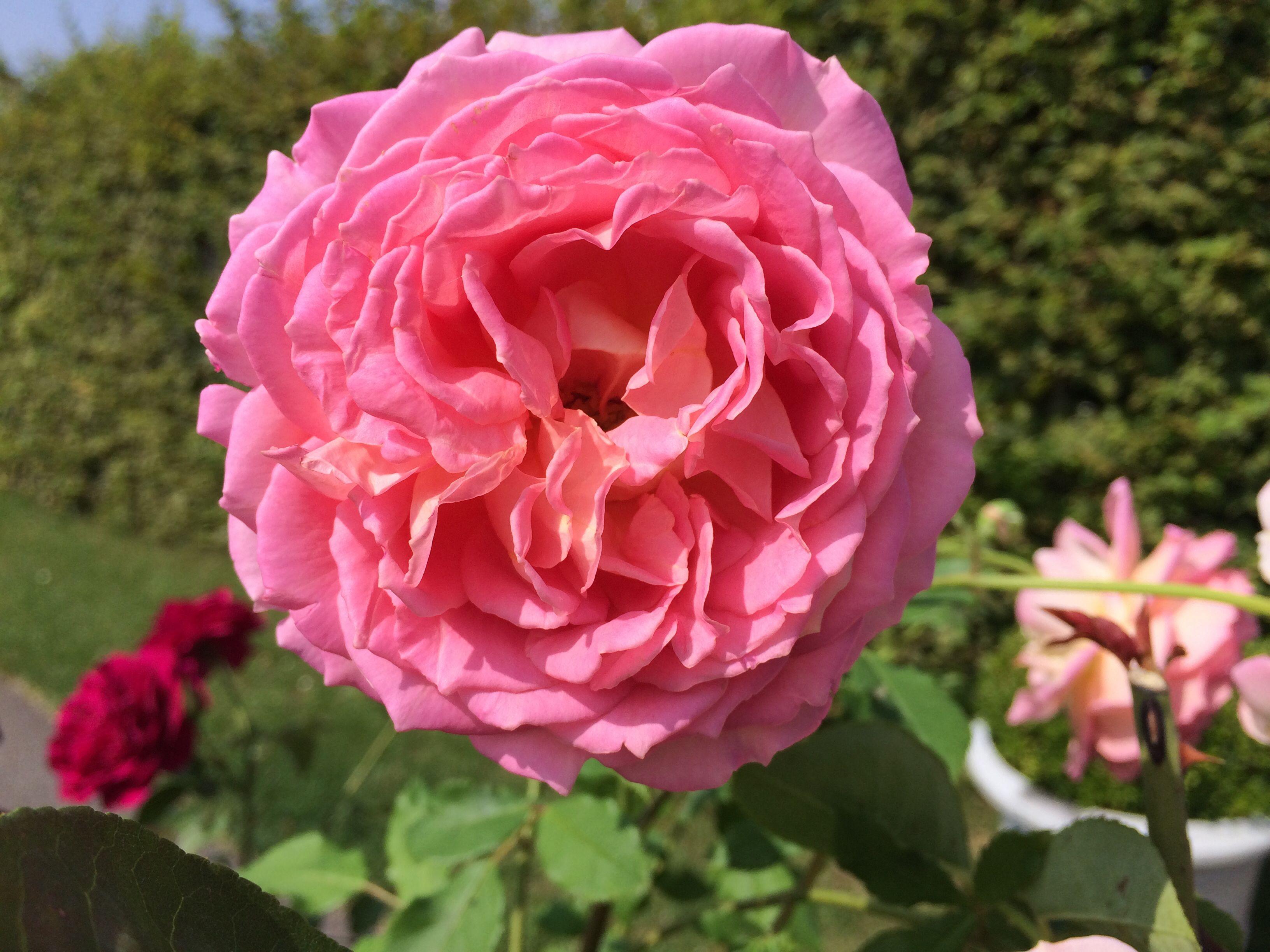 39 jubilee celebration 39 david austin roses. Black Bedroom Furniture Sets. Home Design Ideas