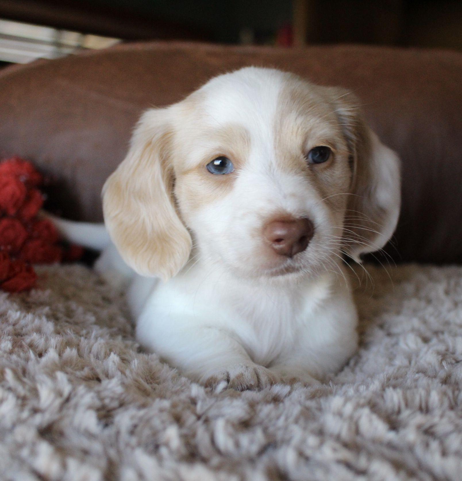 Cream Piebald Miniature Dachshund Longhair Puppy At Muddy River
