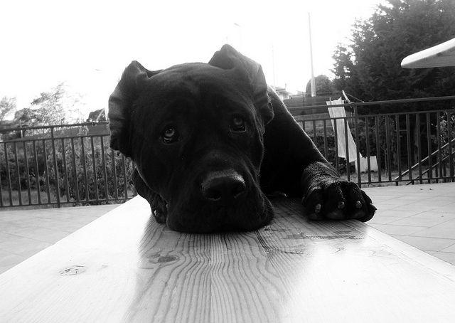 Cane Corso Puppy S Eyes Cane Corso Cane Corso Puppies Puppy Eyes