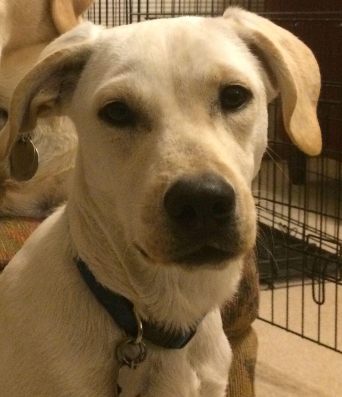 Borador Dog For Adoption In Cedar Rapids Ia Adn 406404 On Puppyfinder Com Gender Female Age Young Dog Adoption Dogs Adoption