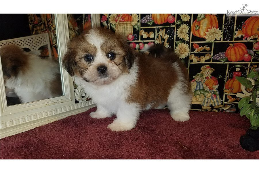 Lanny Lhasa Apso Puppy For Sale Near Fayetteville Arkansas E4e463dd 9d01 Lhasa Apso Lhasa Apso Puppies Pet 101