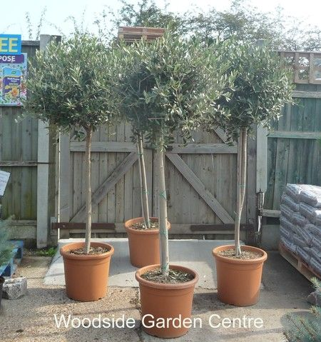 Extra large standard olive tree garden plant woodside for What to plant under olive trees