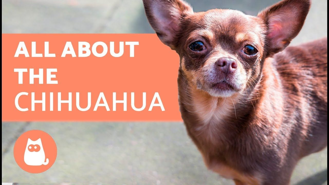 All About The Chihuahua History Care And Training Youtube My