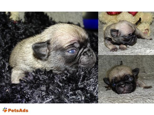Abilene Kansas United States Pug Puppies Pup Puppies