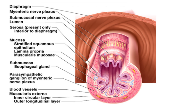 Different Tissue Layers of the GI Tract: Mucosa Submucosa Muscularis externa Adventita or