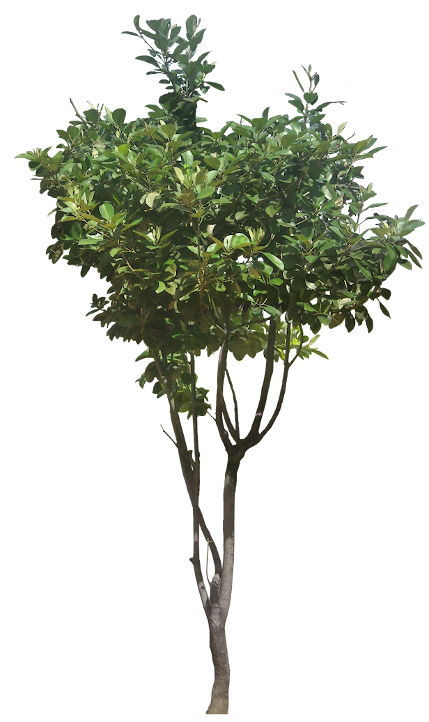 Tropical Plant Pictures Evergreen Trees Tree Photoshop Plants Plant Pictures