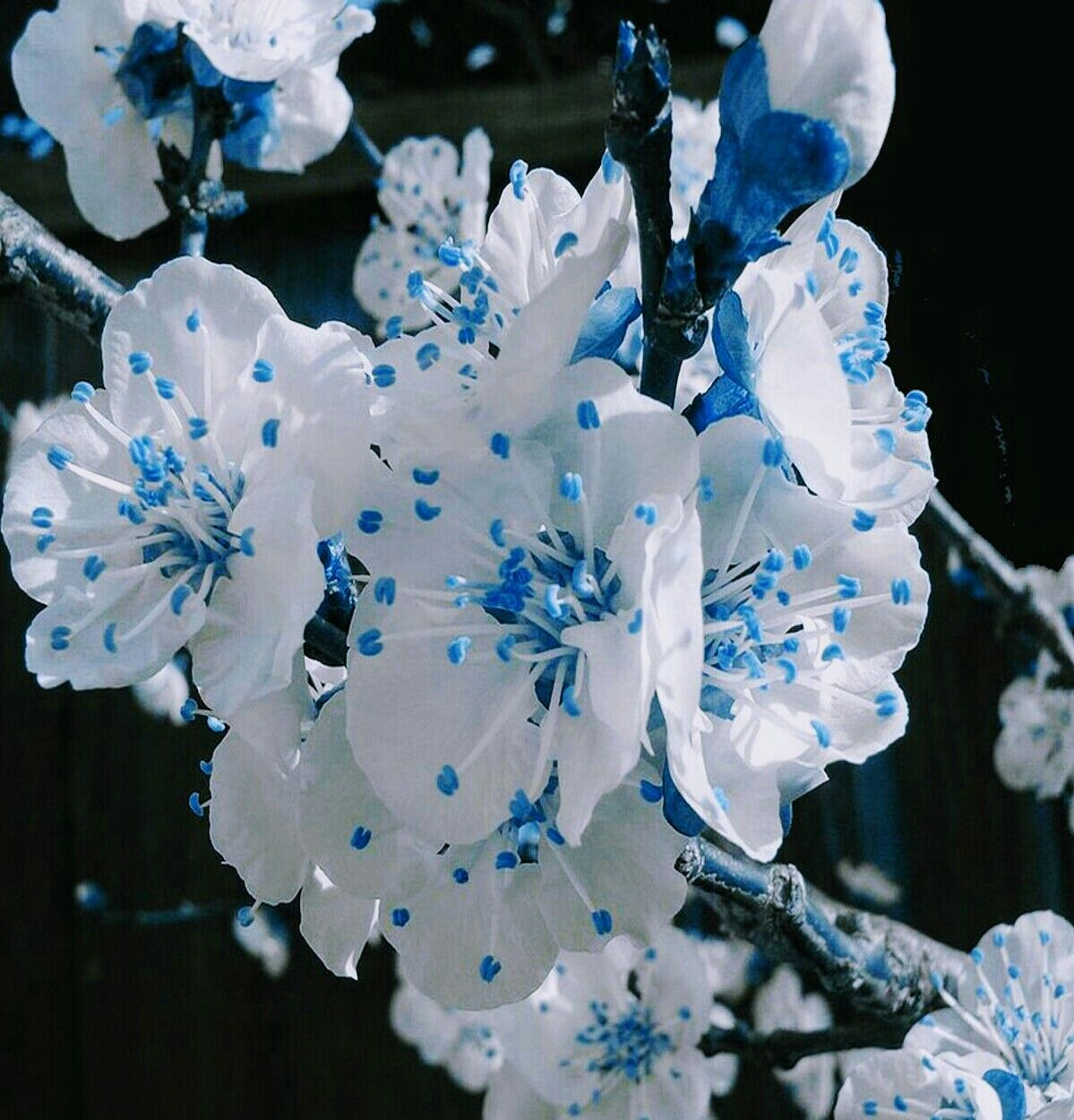 White Blue Cherry Blossom Flowers The Great Outdoors Pinterest