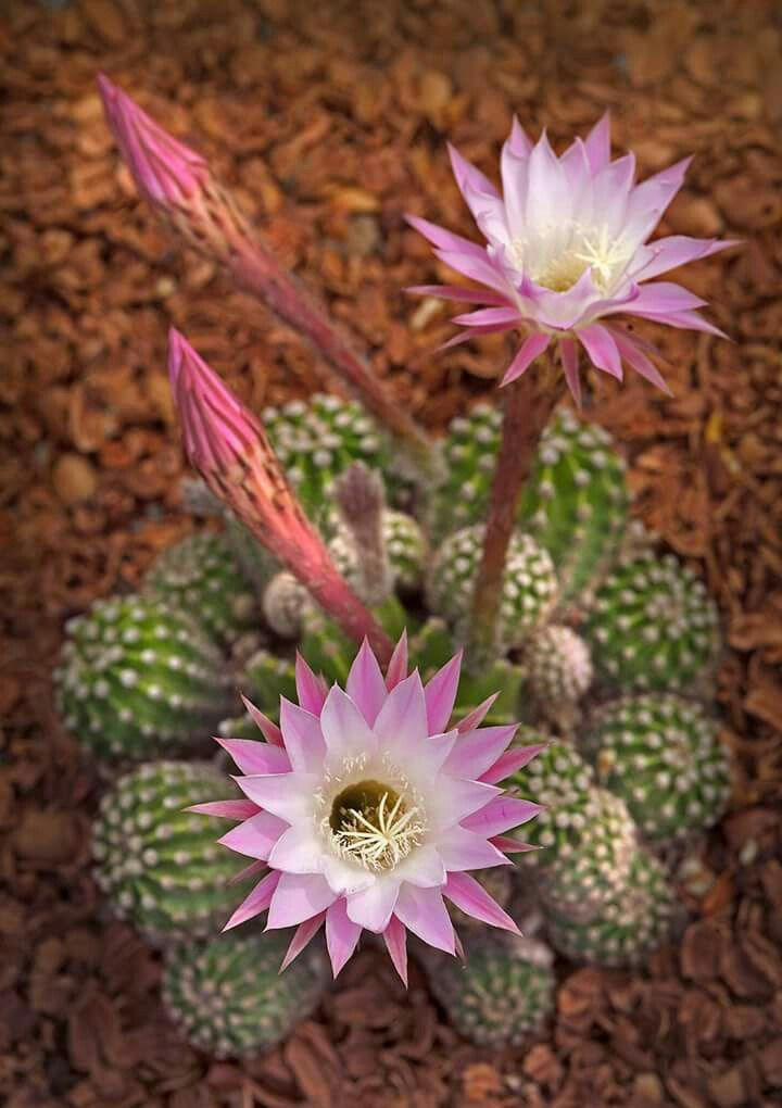 Pin by corrie balletie on cactus pinterest cacti christmas monrovias easter lily cactus details and information learn more about monrovia plants and best practices for best possible plant performance mightylinksfo