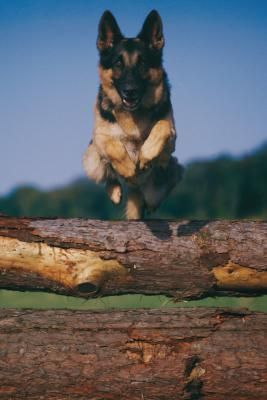 Stages Of Maturity For A German Shepherd German Shepherd Dogs
