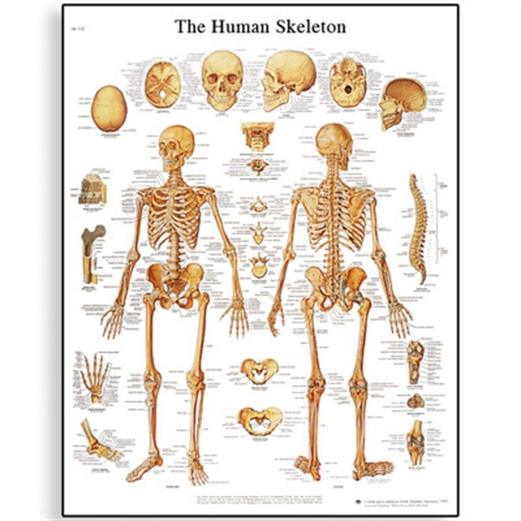 The Human Skeleton Chart | Bones | Pinterest