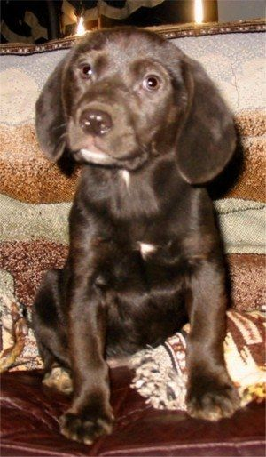 Www Photosbyhalo Com She Is A Lab Beagle Mix Full Grown 3