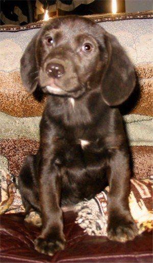 Labbe Puppy Beagle Lab Mix Lab Mix Puppies Puppy Dog Pictures