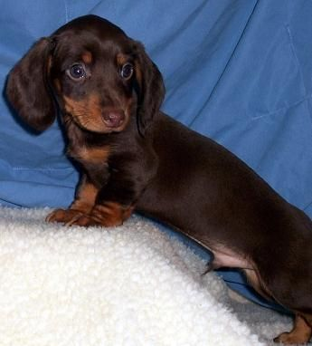 Chocolate And Tan Smooth Coat Dachshund Puppy Dachshund Puppies