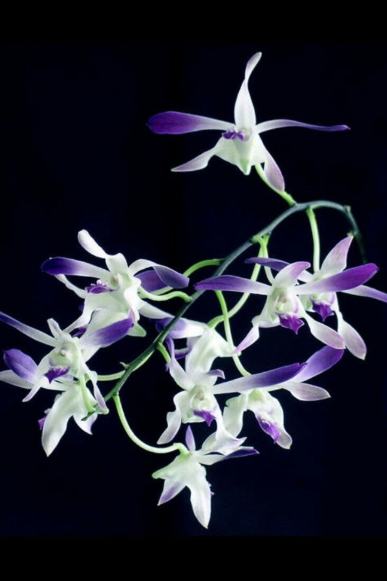 Dendrobium Blue Twinkle Antelope Type Orchid Plant Blooming Size Orchid Plants Orchids Orchid Supplies