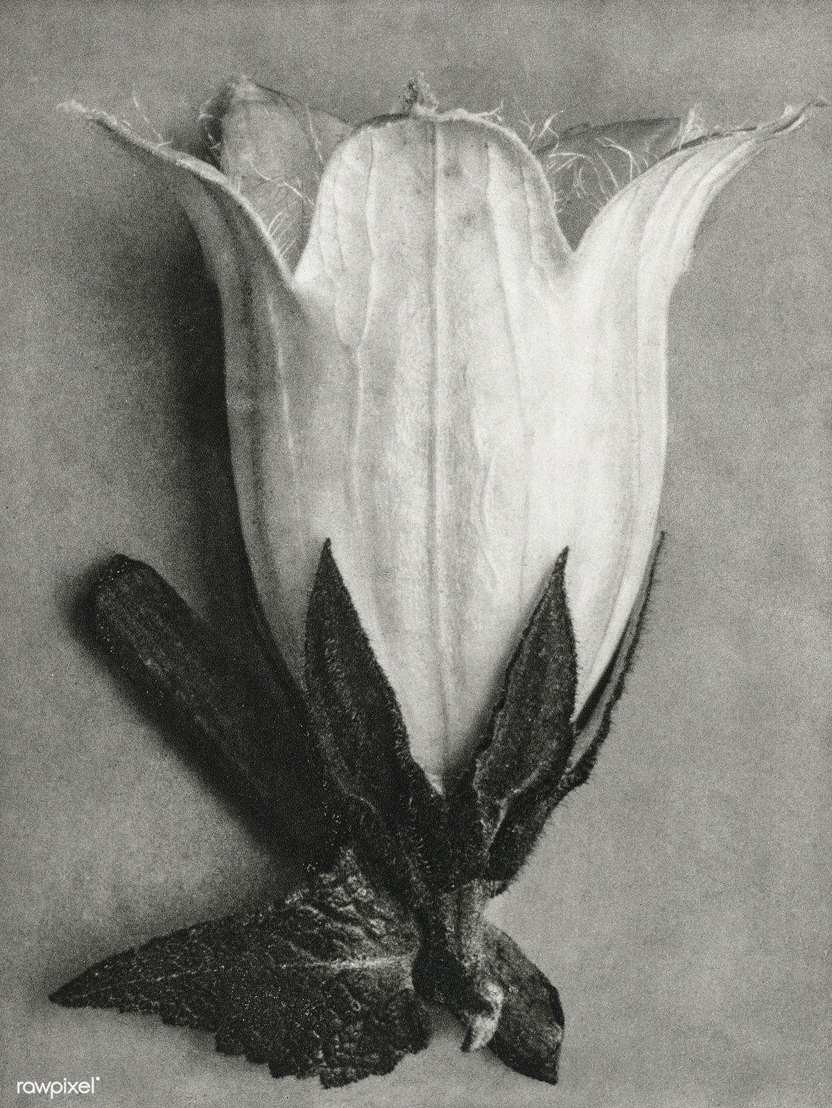 Download premium illustration of Campanula Alliariifolia