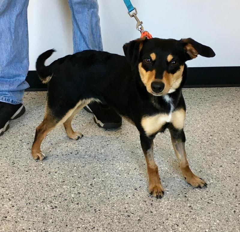 Adopt Maple On Terrier Mix Dogs Miniature Pinscher Terrier Mix