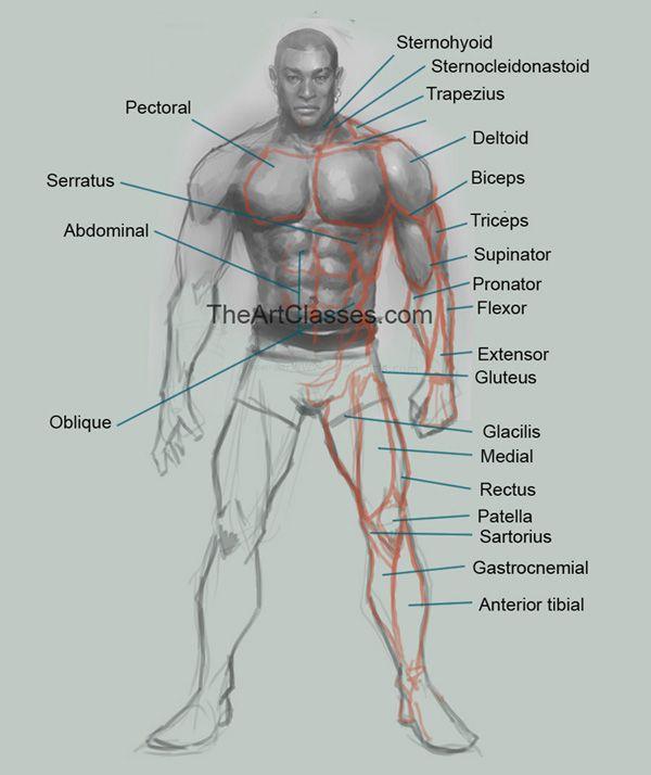 Pin By Bryant Hunter On Comic Anatomy Pinterest Anatomy Body