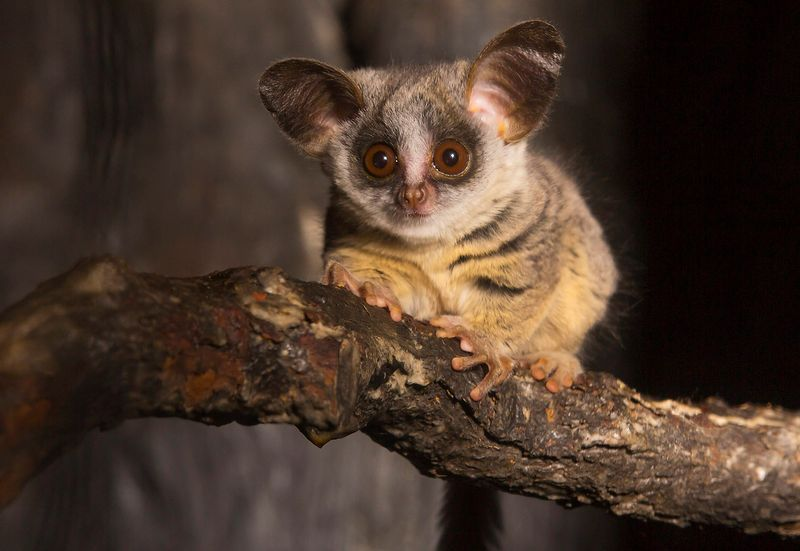 The Mohol Bushbaby Also Known As South African Galago With