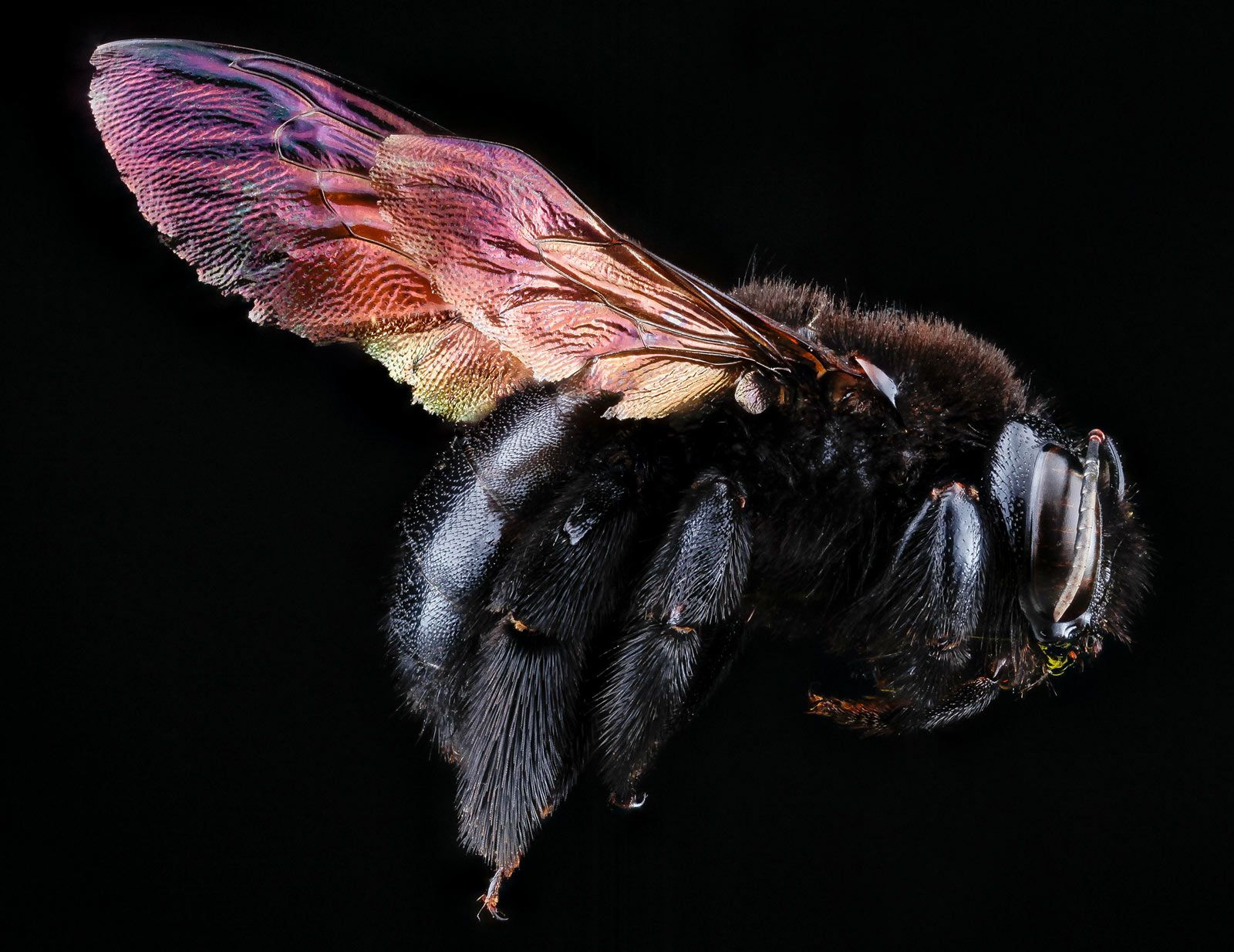 """a carpenter bee  from National Geographic's """"Intimate portraits of bees"""" online exhibit by photographer Sam Droege"""