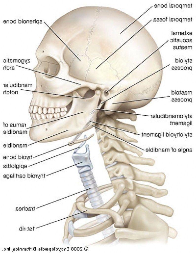 medium resolution of throat and neck anatomy neck structure diagram throat bones diagram neck anatomy bones