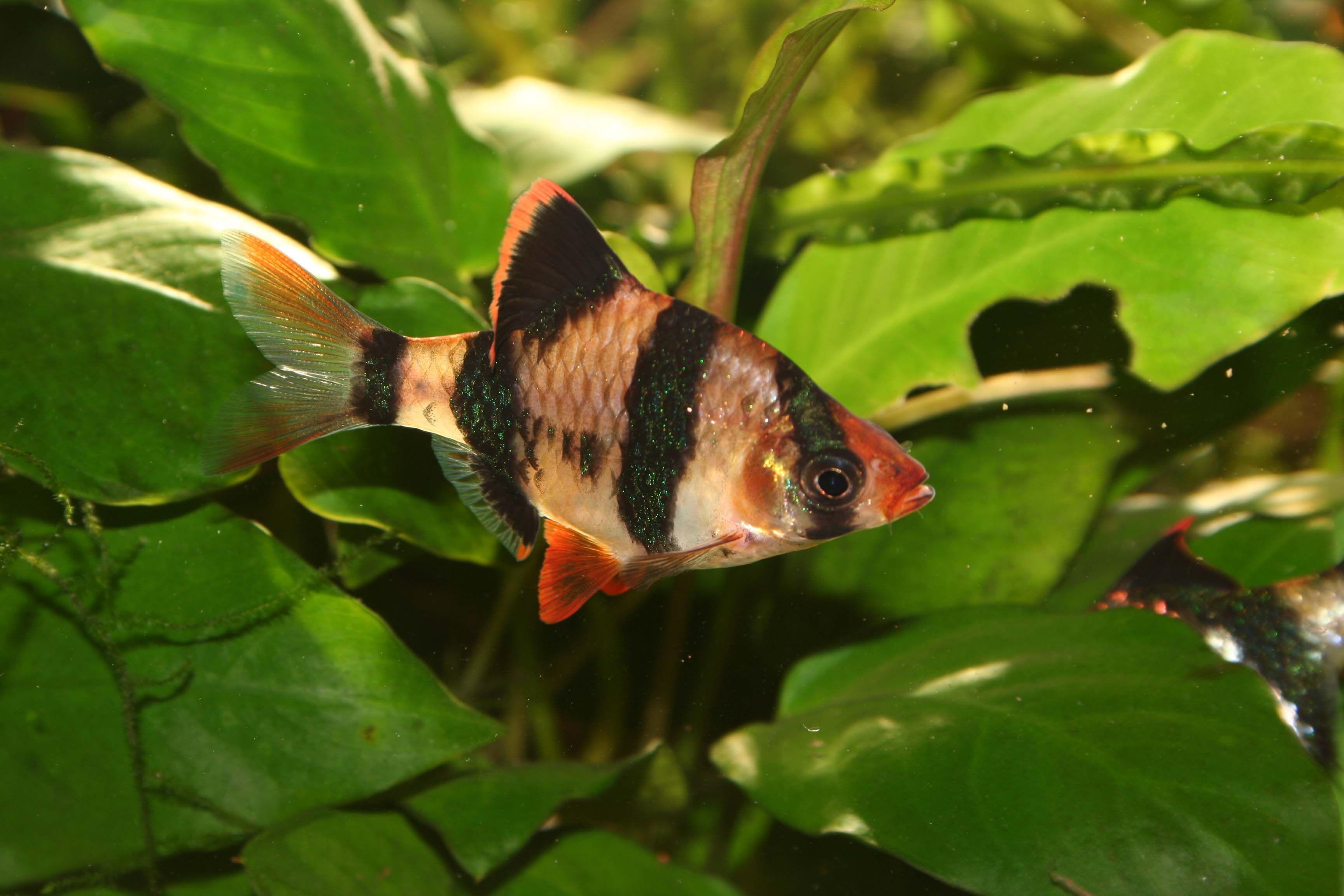 Tiger Barbs Fish Fish Plants Beautiful Tropical Fish