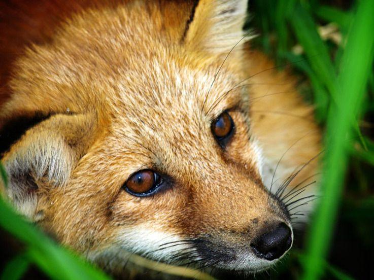 Young Fox closeup