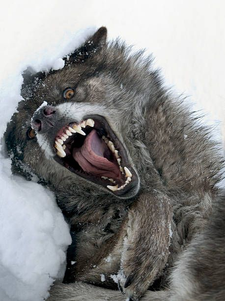 the-wolf-is-a-very-ferocious-animal-picture-id174691818 (458×612)