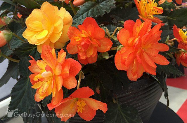 If You Think That Begonias Are Only Good For Growing In Your Garden And Outdoor Flower Pots Think Again Many Varieties Can Als In 2020 Flower Pots Begonia Plant Care