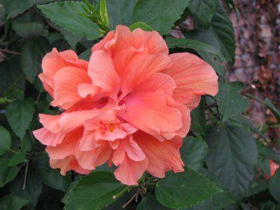 Triple Red Hibiscus | Flowers, Hibiscus, Plants |Triple Hibiscus
