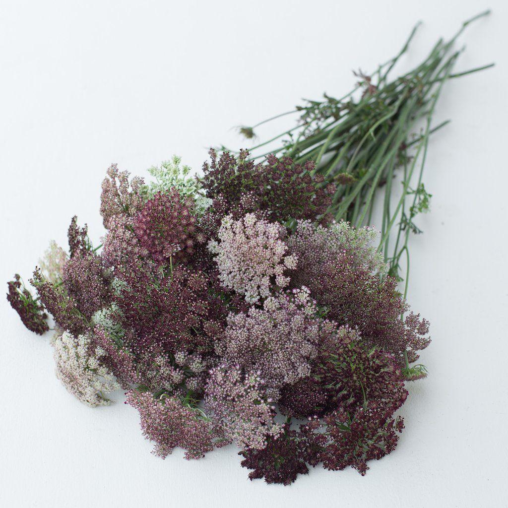 Chocolate Lace Flower Dara Wilde Mohren Pflanzen Blumen Anbauen